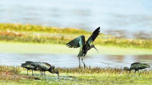 时隔数年,国家二级保护鸟类彩鹮再现滇池南岸。黄睿摄