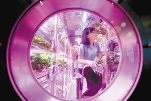 """5月15日,""""月宫一号""""实验室内,志愿者刘慧(前)在收集舱内种植的蔬菜,做出舱准备。新华社"""