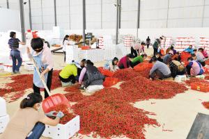 小密枝辣椒产业带动群众增收。