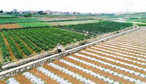石林县鹿阜街道发展辣椒种植产业。记者周密摄