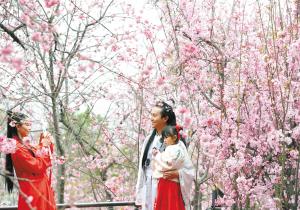 """""""圆通樱潮""""引来众多游客赏花拍照。  记者杨艳辉摄"""
