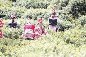 2018年云南省茶园面积达666.8万亩。 资料图