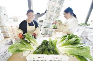 西餐蔬菜生态种植基地带动村民增收。 记者王俊星摄