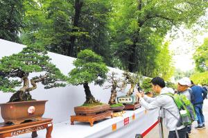 市民观赏盆景作品。