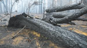 在距澳大利亚首都堪培拉一个多小时车程的温杰洛村附近拍摄的林火过后的景象。新华社