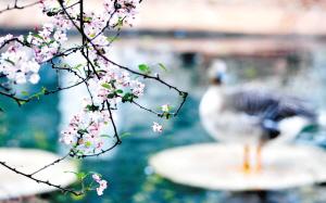 圆通山的海棠花。 作者:杨雁涵