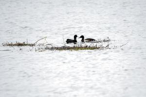 青头潜鸭正在东大河湿地觅食。李继明供图