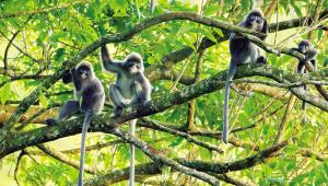 郑山河拍摄的菲氏叶猴猴群。供图